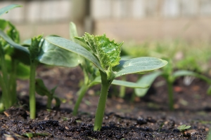 Cucumber-seedling1