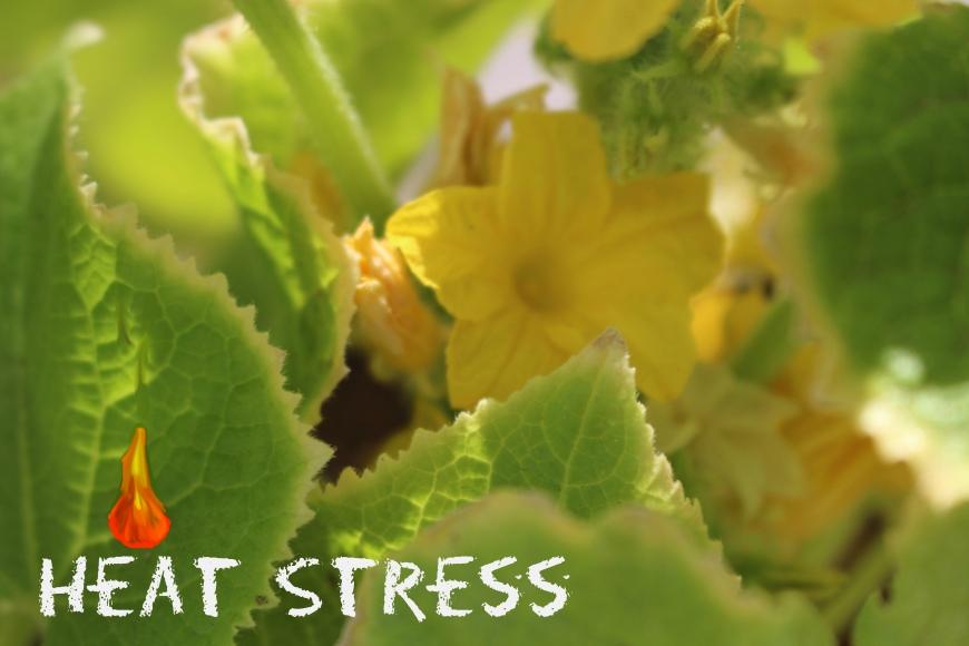 Heat Stress Pickels Of Wisdom