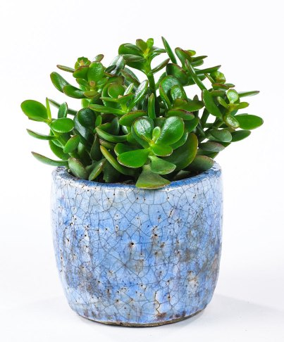 jade-plant-in-blue-pot
