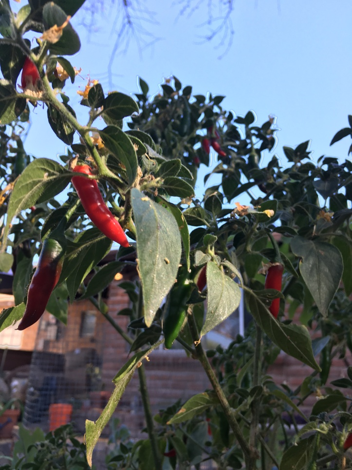 peppers on bush