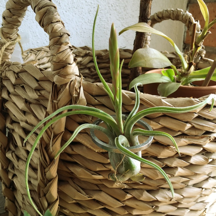 pickles of wisdom how to care for air plant woven basket tillandsia tilly