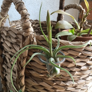 pickles-of-wisdom-how-to-care-for-air-plant-woven-basket-tillandsia-tilly1